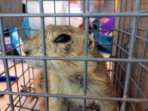 Gunnison's Prairie Dog ready for release | NPS Photo