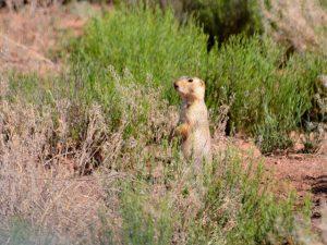 Gunnison's Prairie Dog in park | NPS Photo